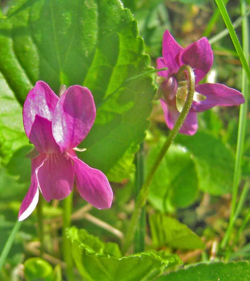 rózsaszín ibolyapár