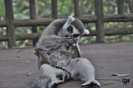 geszter: lemur2
