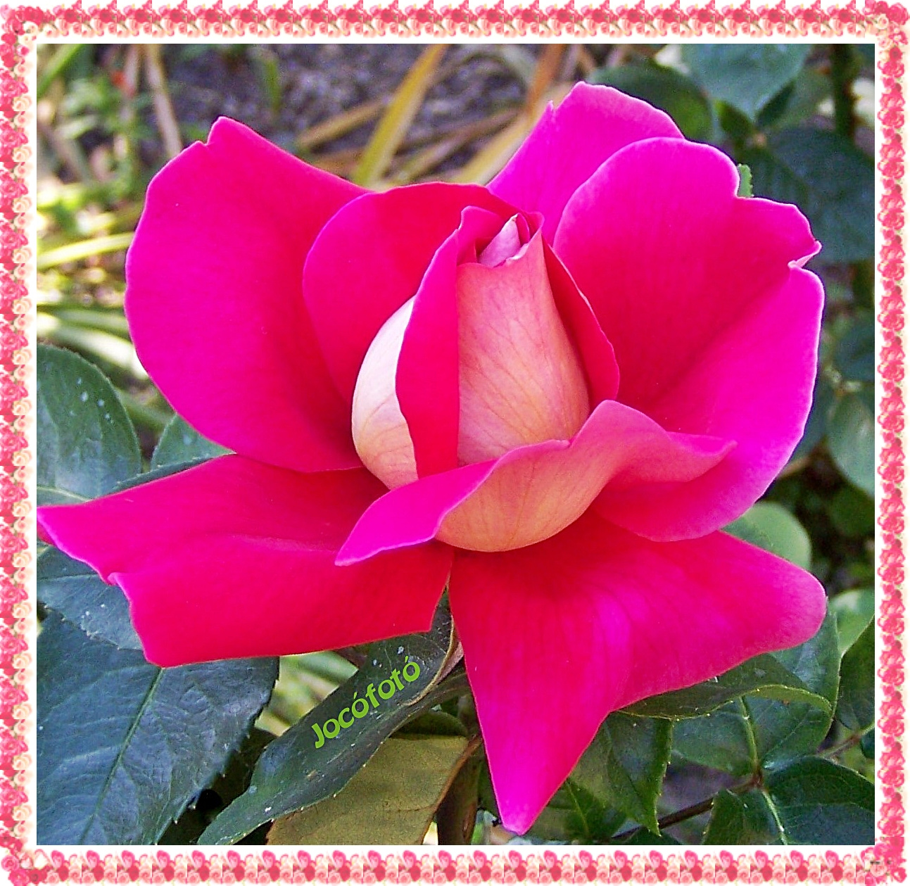 Rózsáim 7516