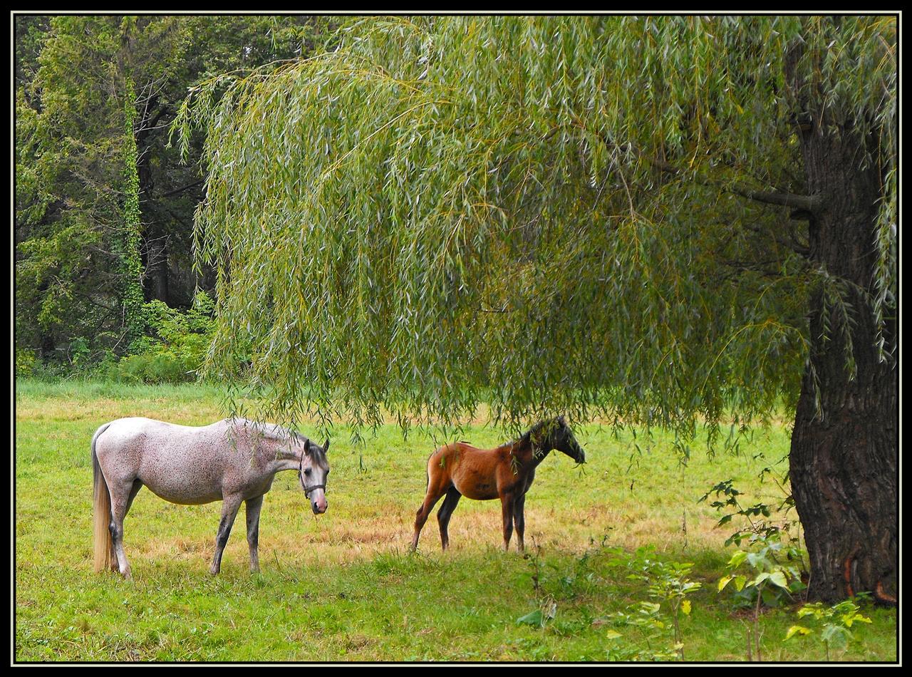 Fehér ló és a fia