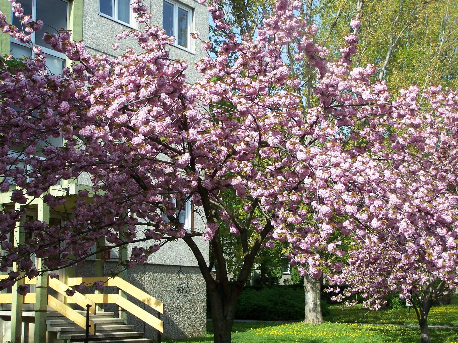 cseresznyefák